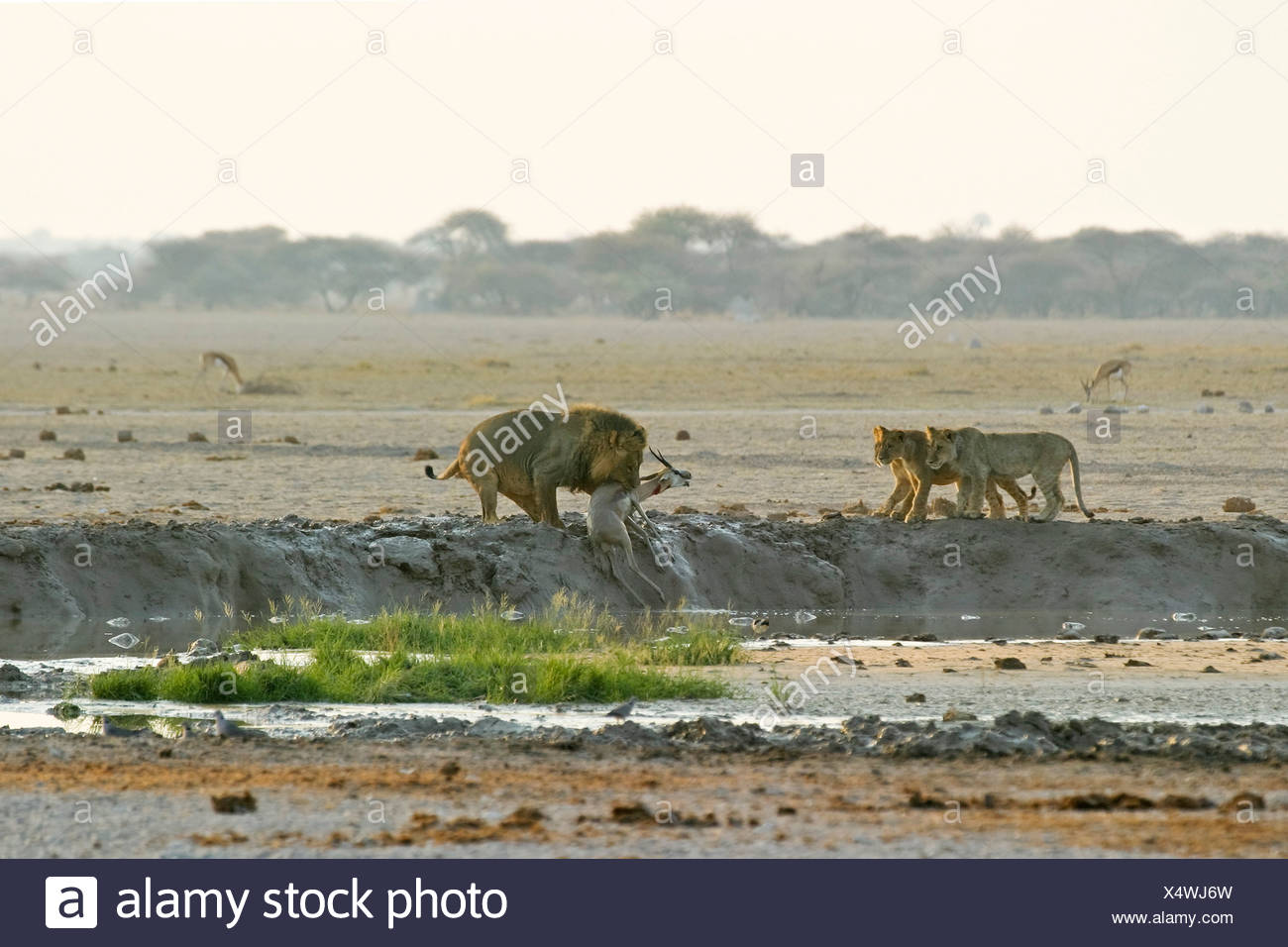 Hunting Lion (Panthera leo) with with cups and a killed springbok (Antidorcas marsupialis), Nxai Pan, Makgadikgadi Pans Nationa - Stock Image