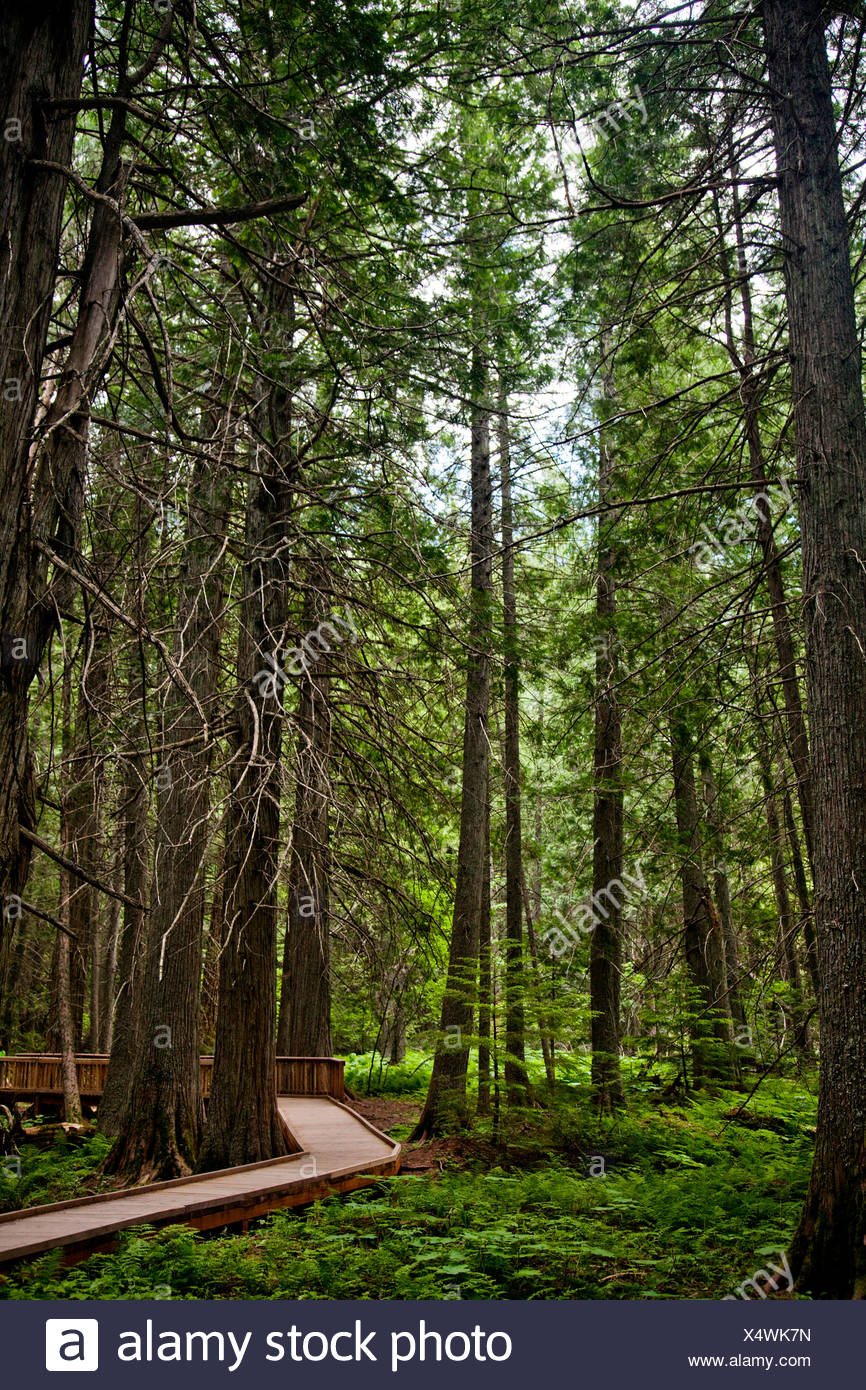 A boardwalk between tall trees. - Stock Image