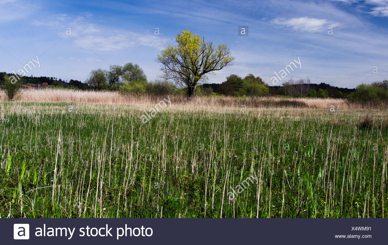 Tree, humid area, fen, canton, Bern, moor, nature, nature conservation, nature reserve, Salix alba, reed, Switzerland, Europe, w - Stock Image