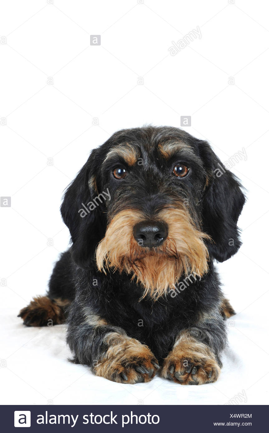 Wire-haired Dachshund, Wire-haired sausage dog, domestic dog (Canis lupus f. familiaris), front view, lying, Germany Stock Photo