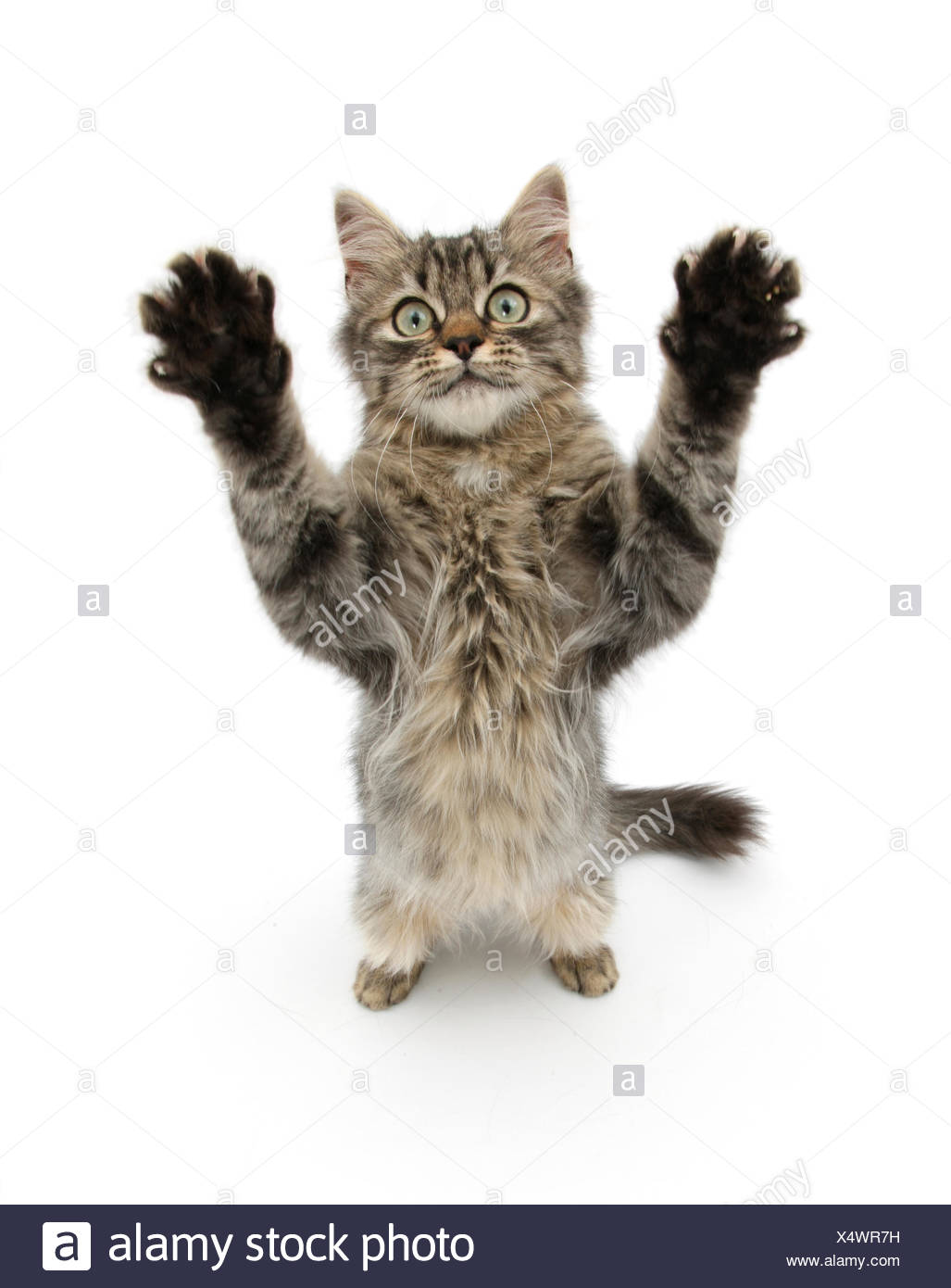 Tabby kitten, 5 months, standing up with raised paws. - Stock Image