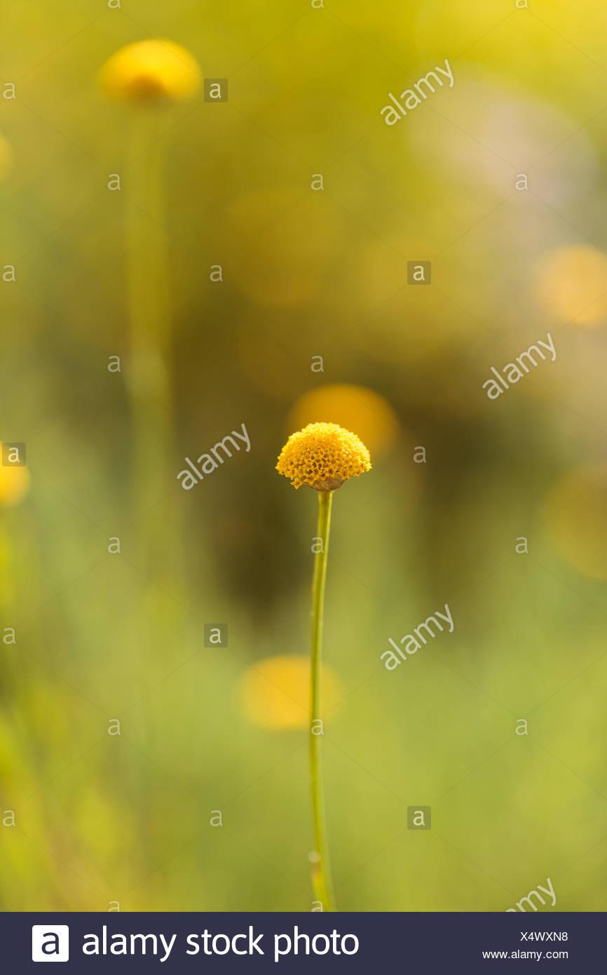 Billy balls yellow flower stock photos billy balls yellow flower craspedia billy balls yellow flower stock image mightylinksfo