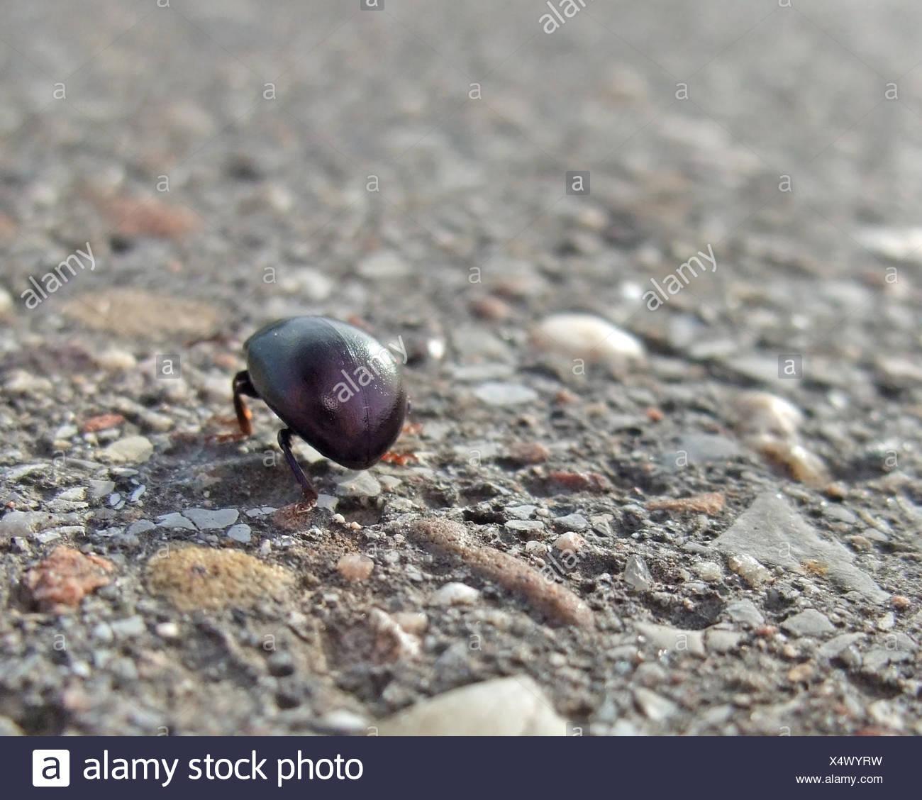 low angle closeup showing a bug named 'Cysolina sturmi' walking on pavement - Stock Image