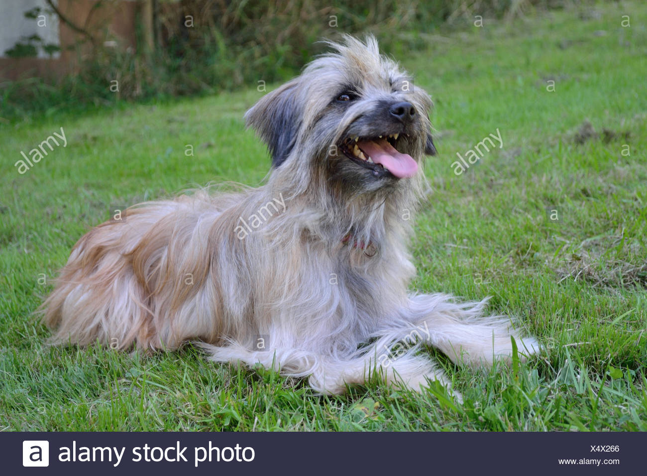 long-haired Pyrenean Shepherd - Stock Image