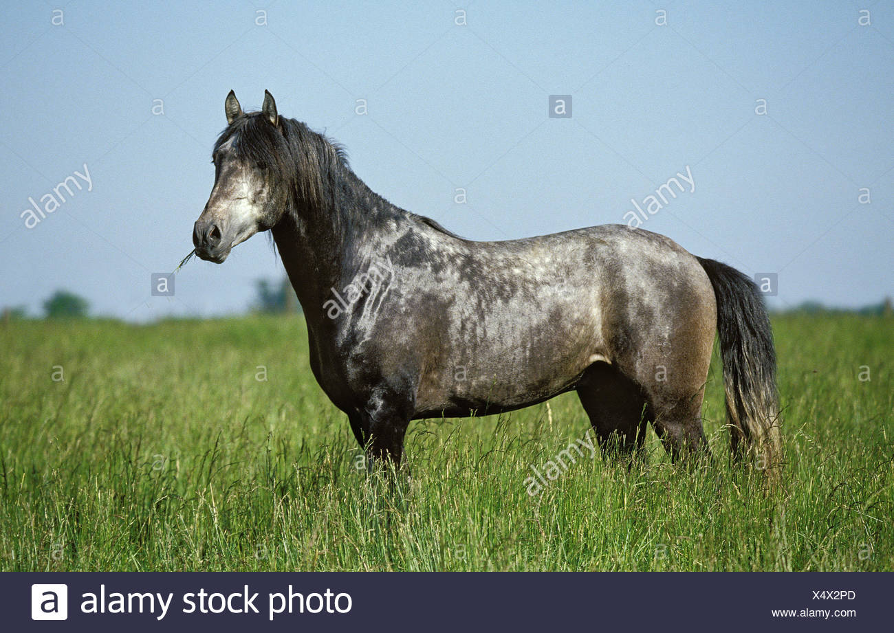 Lusitano Horse, Adult standing in Meadow - Stock Image