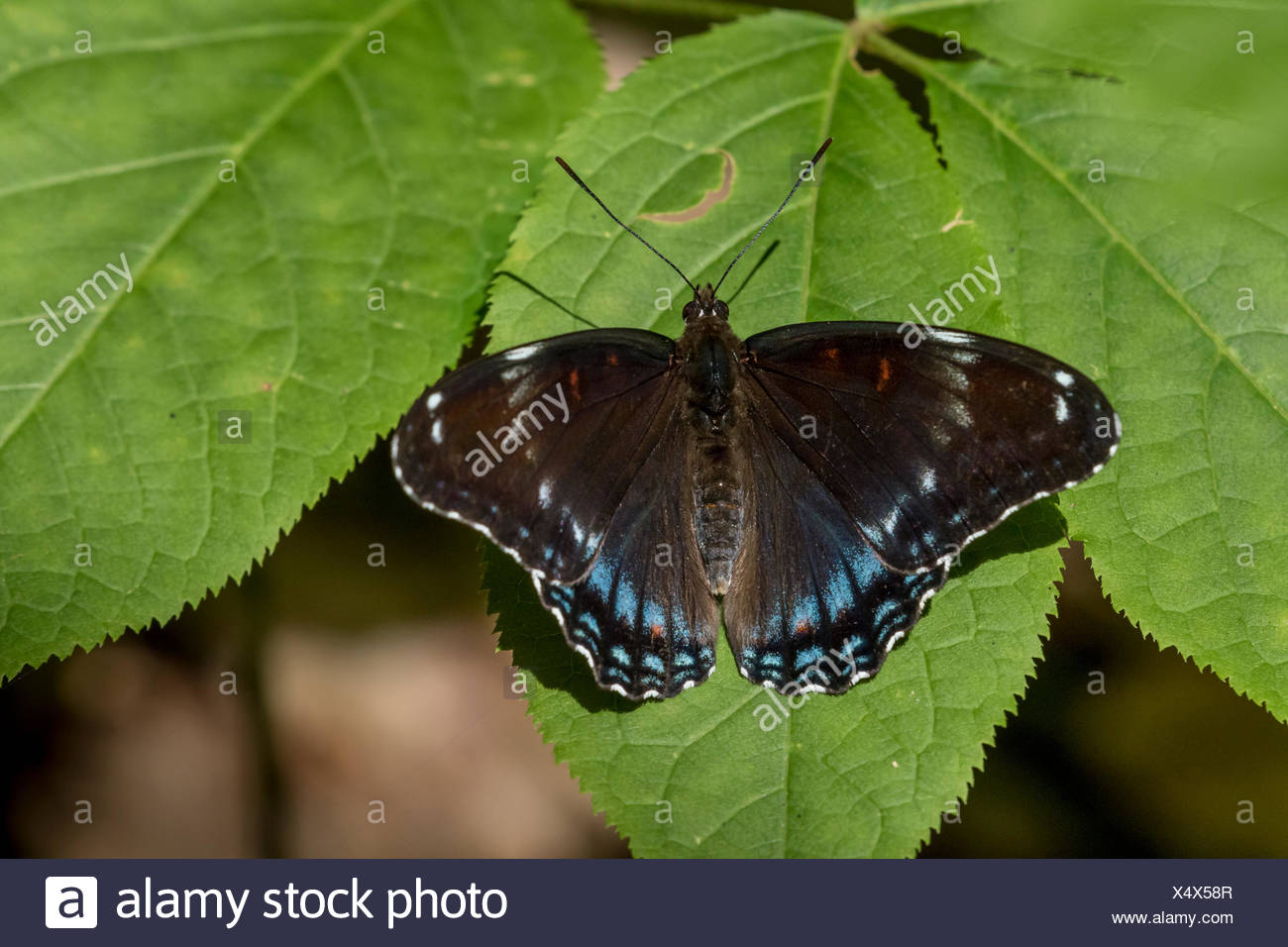Limenitis arthemis butterfly hybrid of subspecies Red-spotted Purple (Limenitis arthemis astyanax) and White Admiral (Limenitis arthemis arthemis) in Awenda Provincial Park, Ontario, Canada - Stock Image