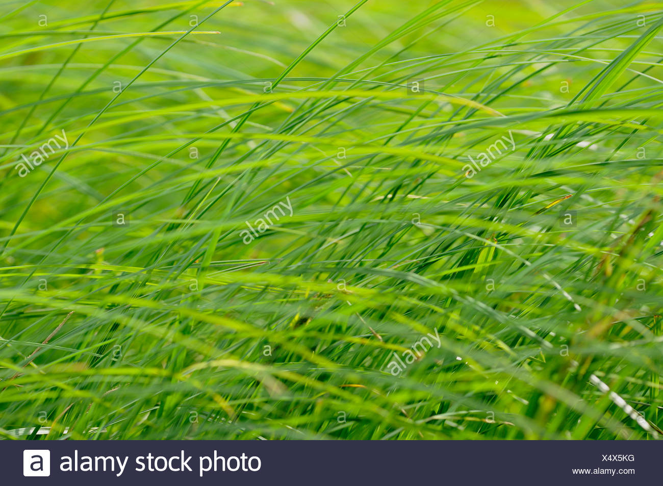 sedges in wind, Germany - Stock Image