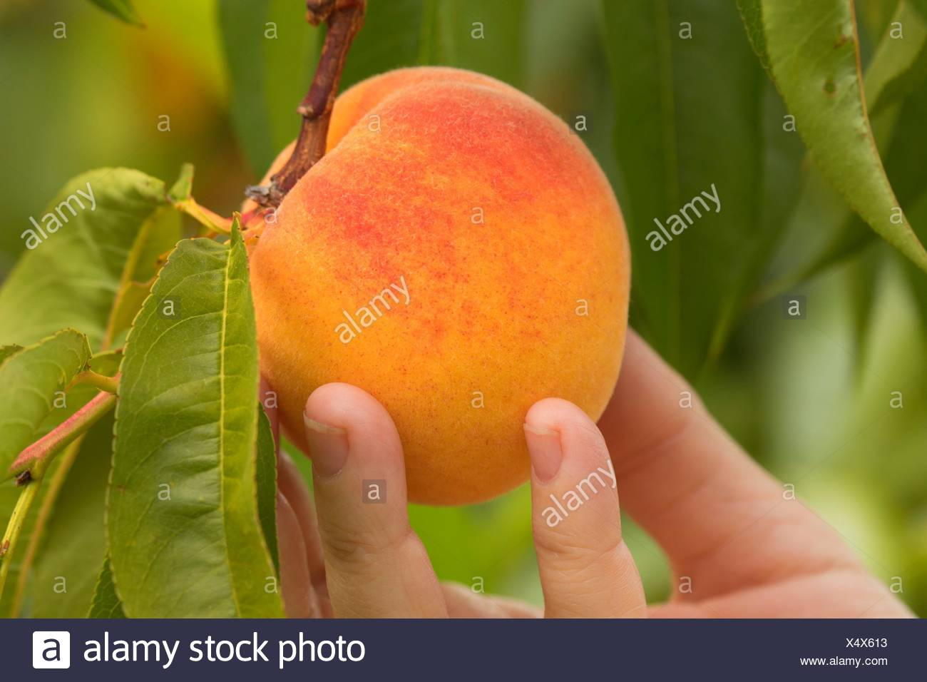 Peach orchard at Adair's Orchards, Linn County, Oregon. - Stock Image