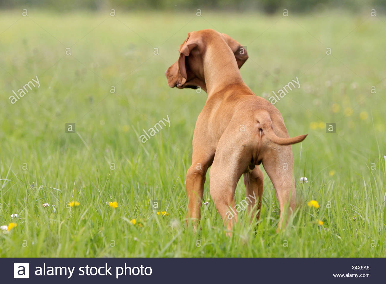 Magyar Vizsla - puppy standing on meadow - Stock Image