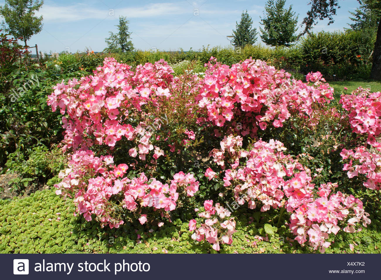 Rosa Fortuna, Hybrid-rose - Stock Image