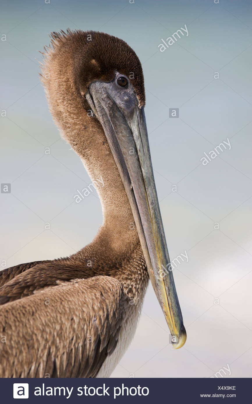 brown pelican at the sea Stock Photo