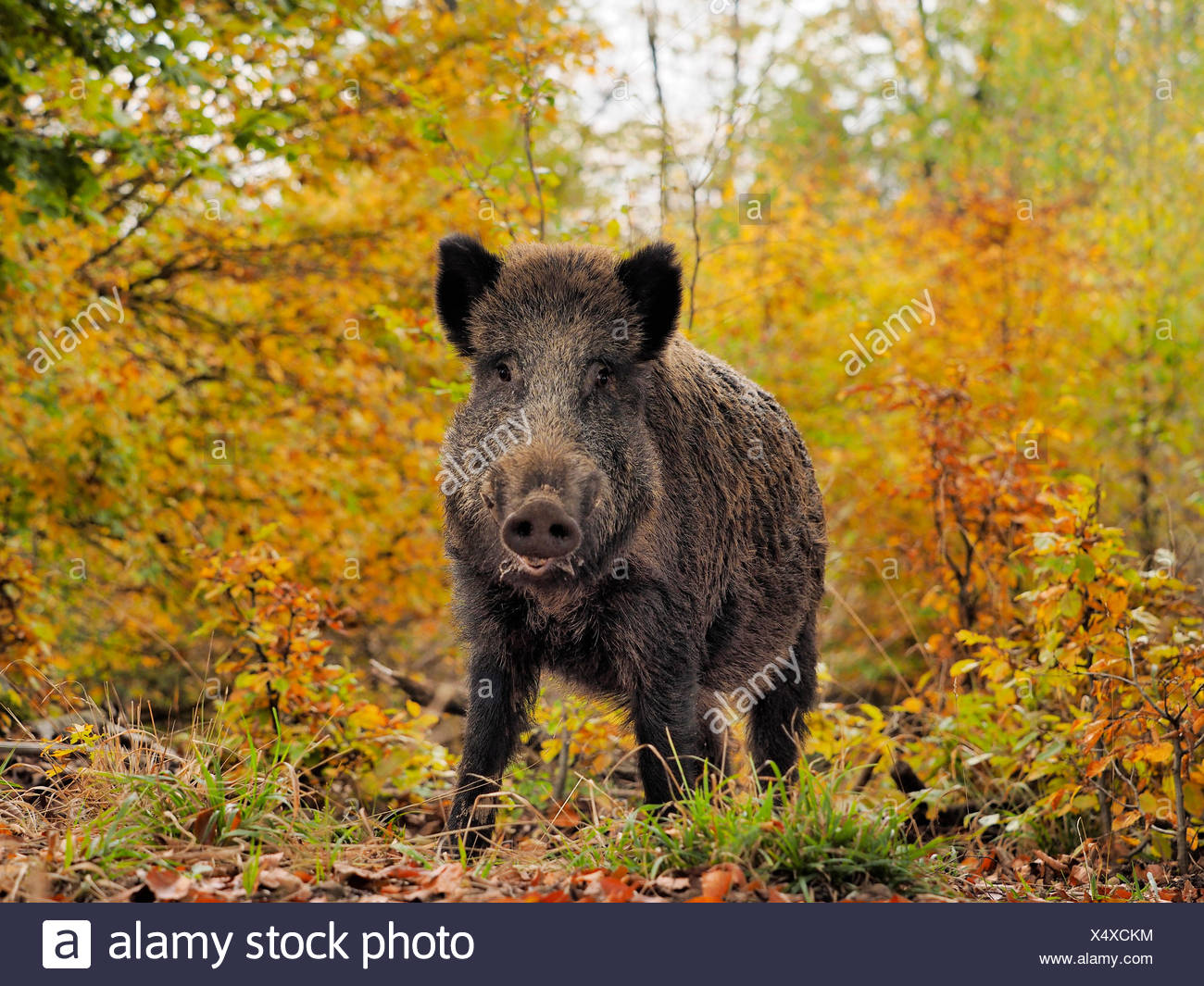 wild boar, pig, wild boar (Sus scrofa), young tusker in autumn woods, Germany, Baden-Wuerttemberg - Stock Image