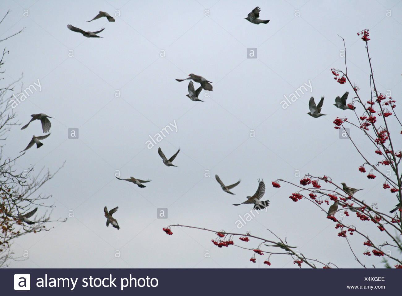 bird brown brownish brunette birds europe wing resin visit rowan berries pull Stock Photo