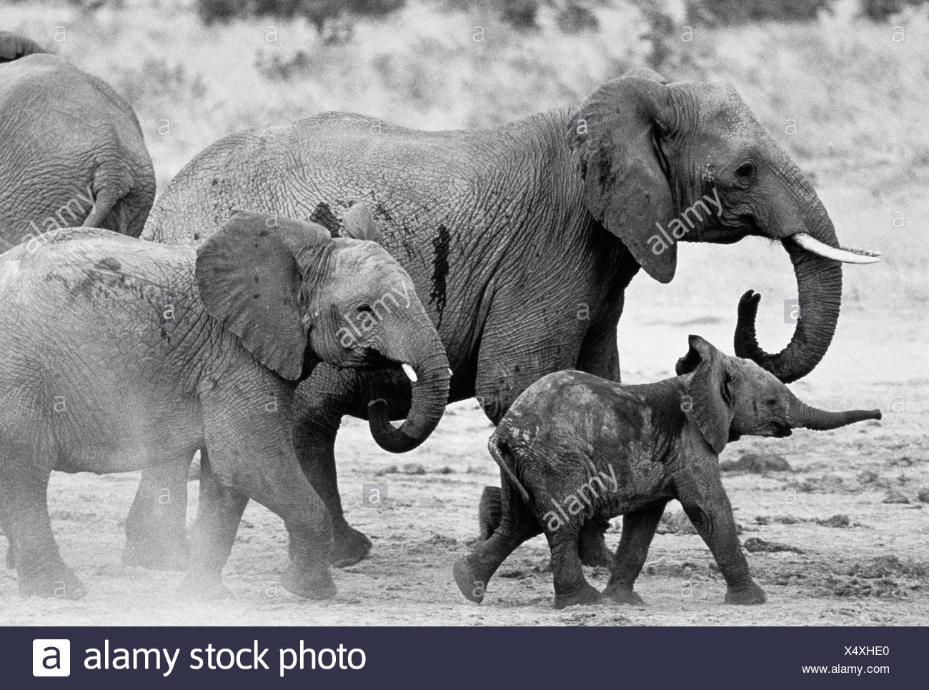Elephant Family Walking in Mud Stock Photo