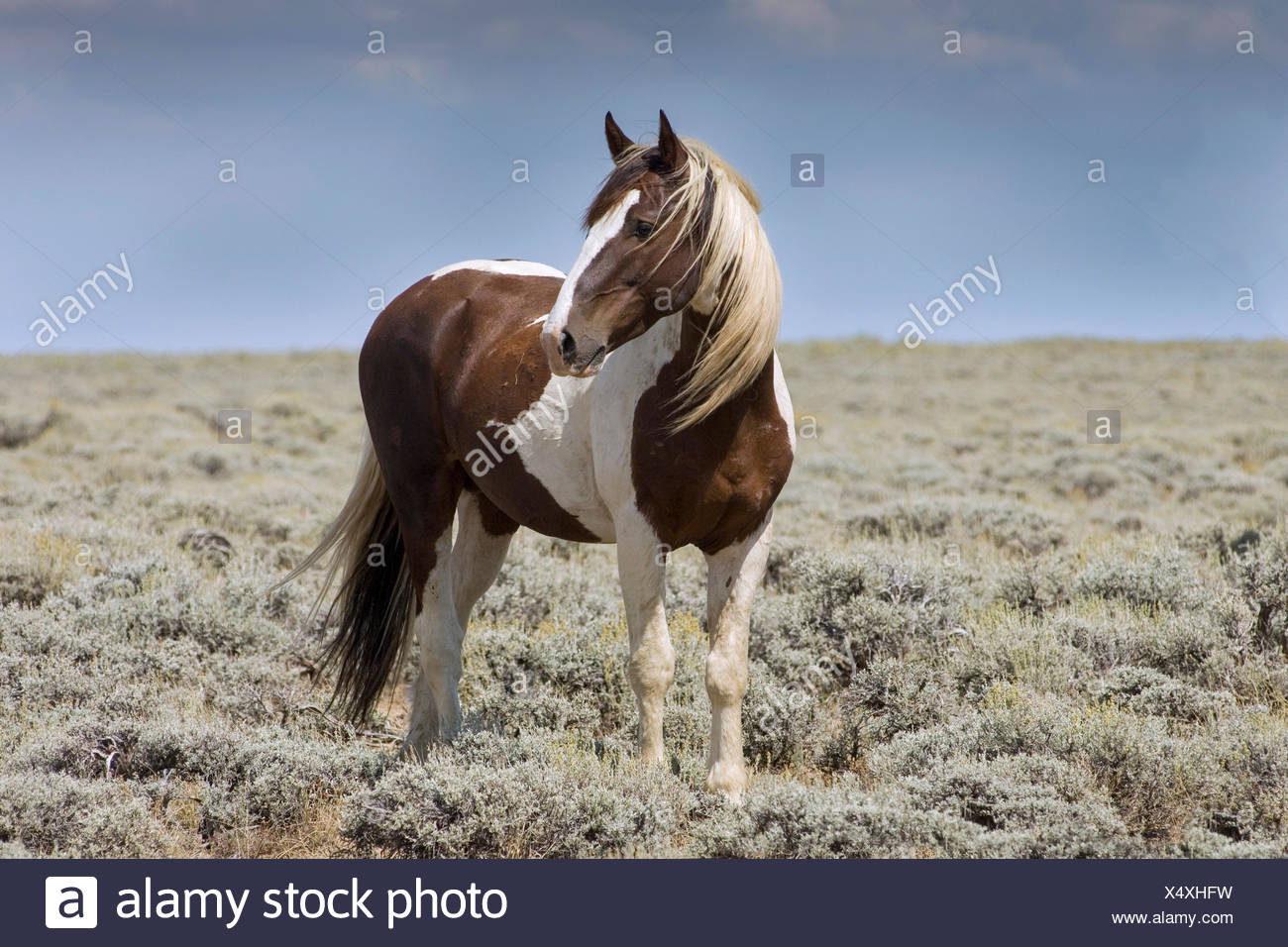 Mustang (Equus ferus caballus), stallion, piebald standing in prairie, Wyoming, USA - Stock Image