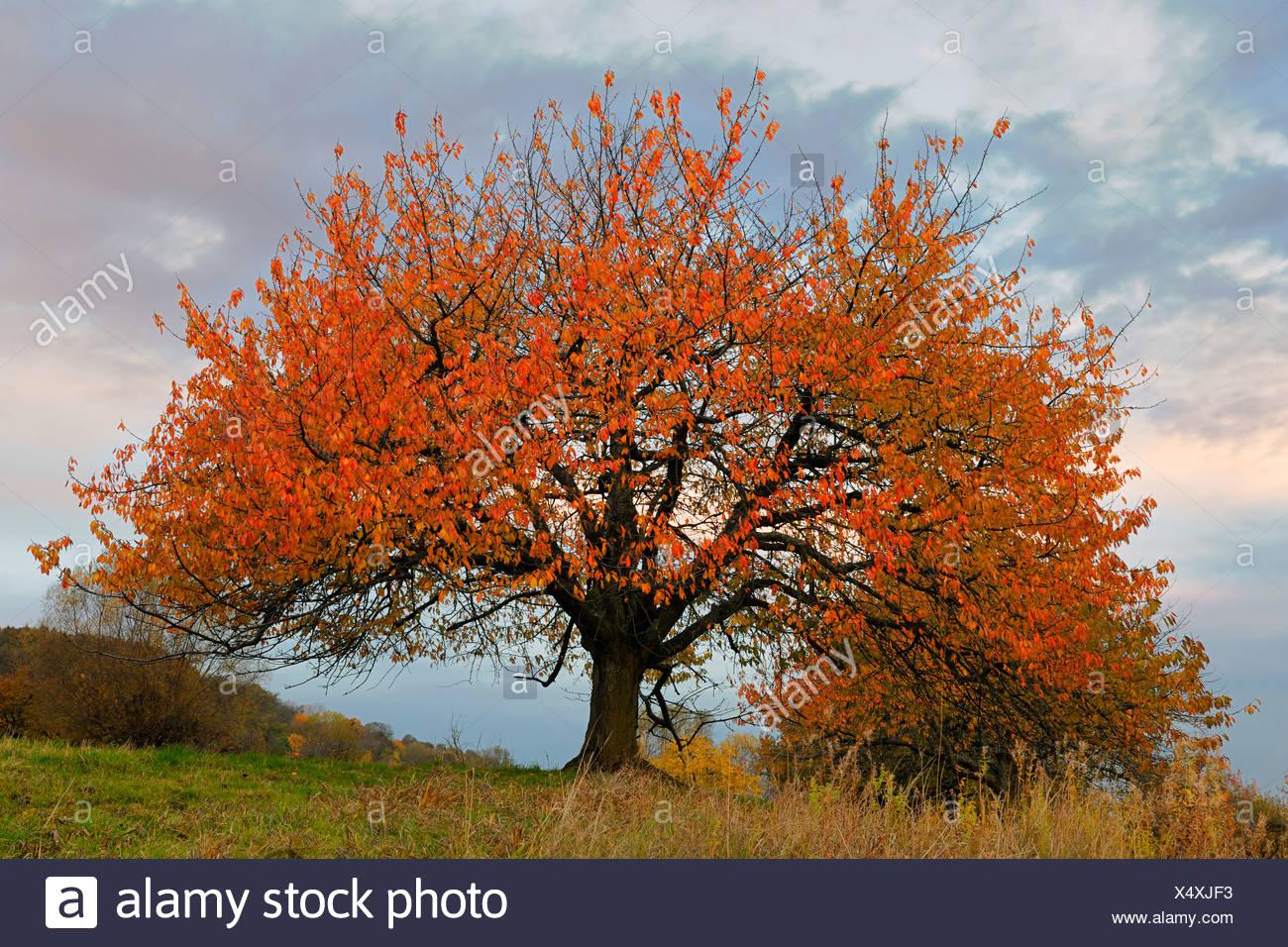 Autumnal cherry tree in the fading light, Biosphaerengebiet Swabian Alb biosphere region, Baden-Wuerttemberg, Germany, Europe - Stock Image