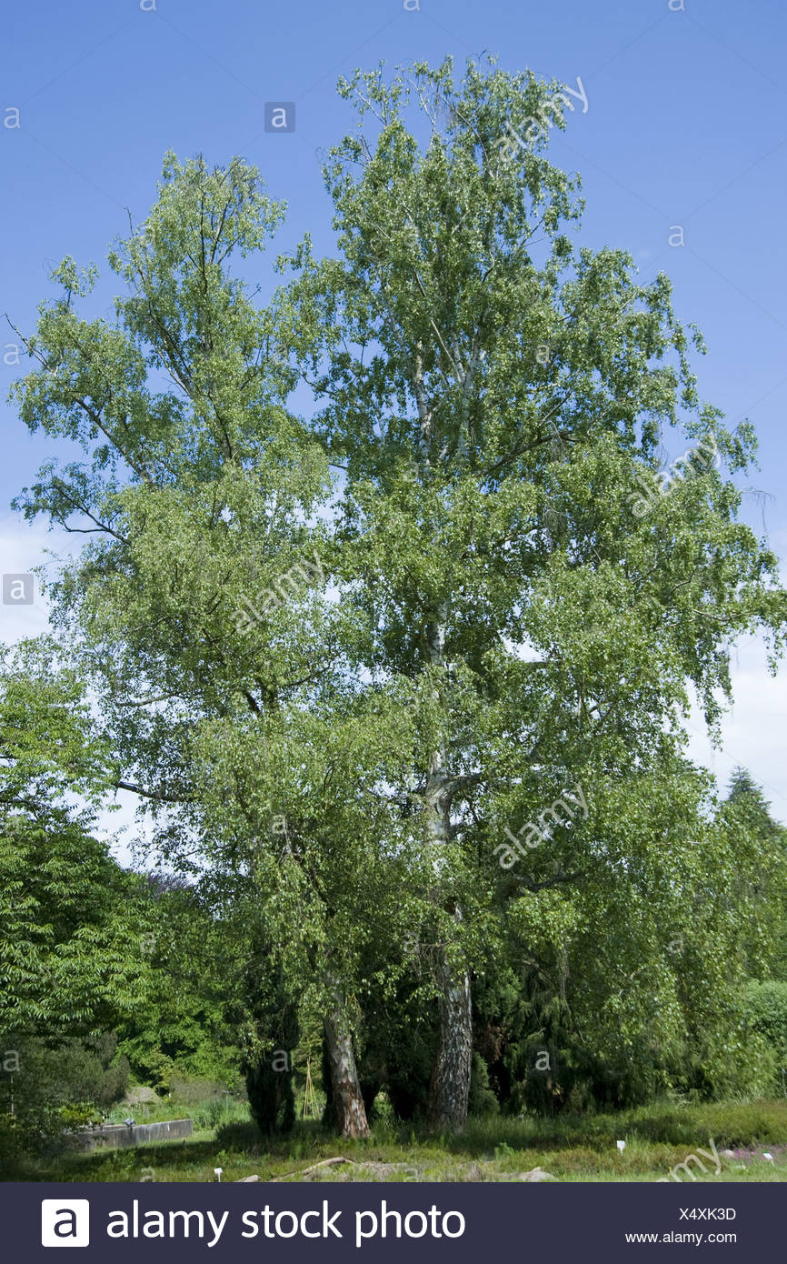 silver birch, betula pendula - Stock Image