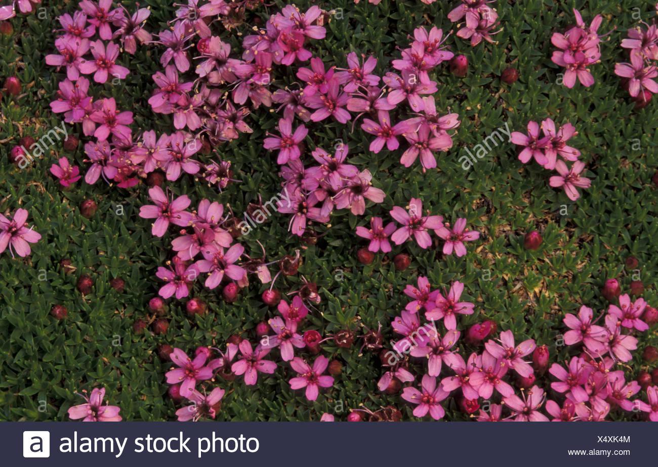 Plant CARYPHYLLACEAE Silene so Stock Photo