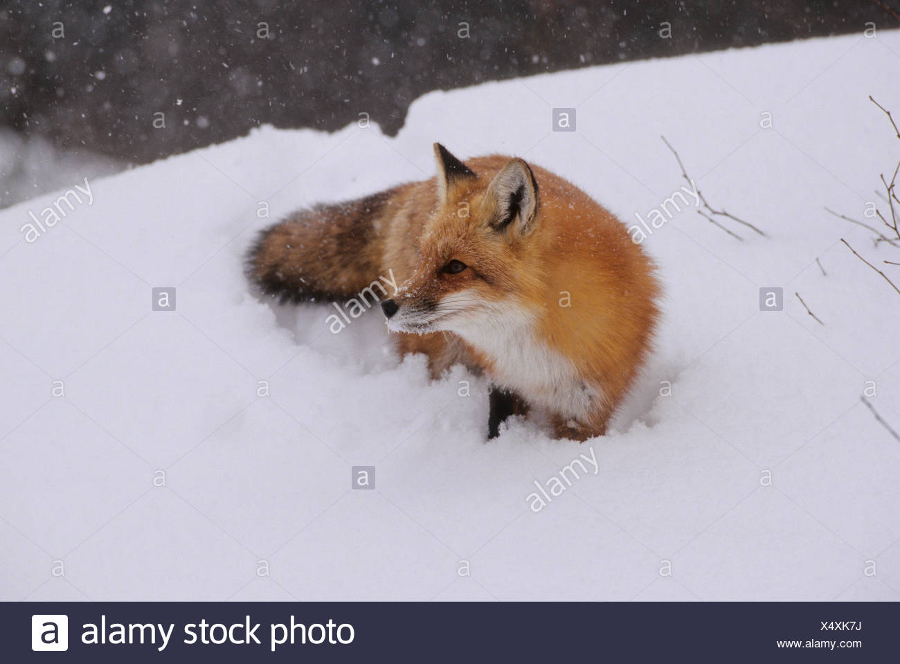 Red Fox (Vulpes vulpes) Adult difficult to observe being shy & primarily nocternal. Does not hibernate.  Algonquin Provincial - Stock Image