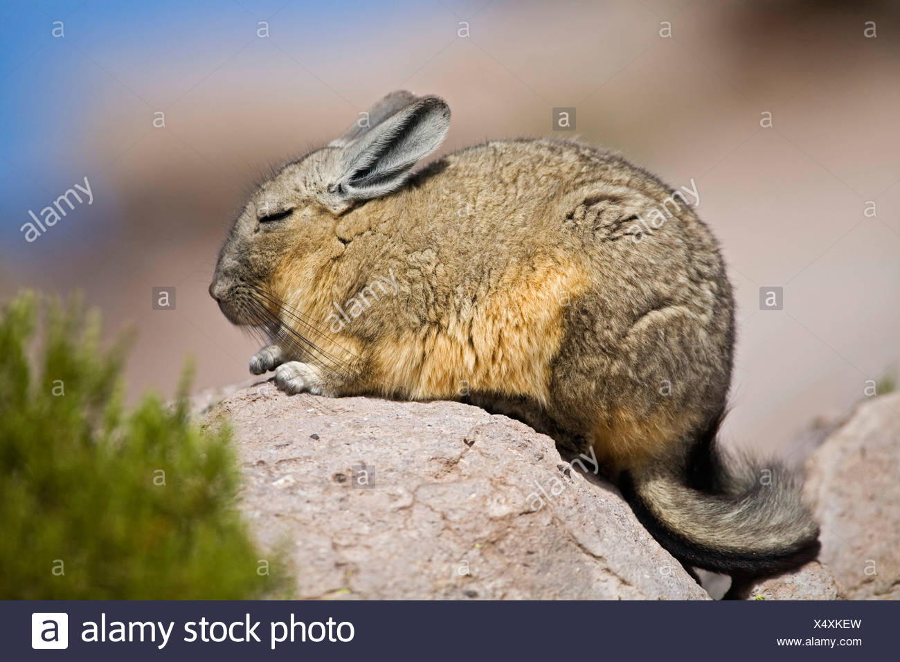 Viscacha (Lagidium) relatives from the Chinchillas at the rocks, Conaf station Las Cuevas, national park Lauca, Chile, South Am - Stock Image