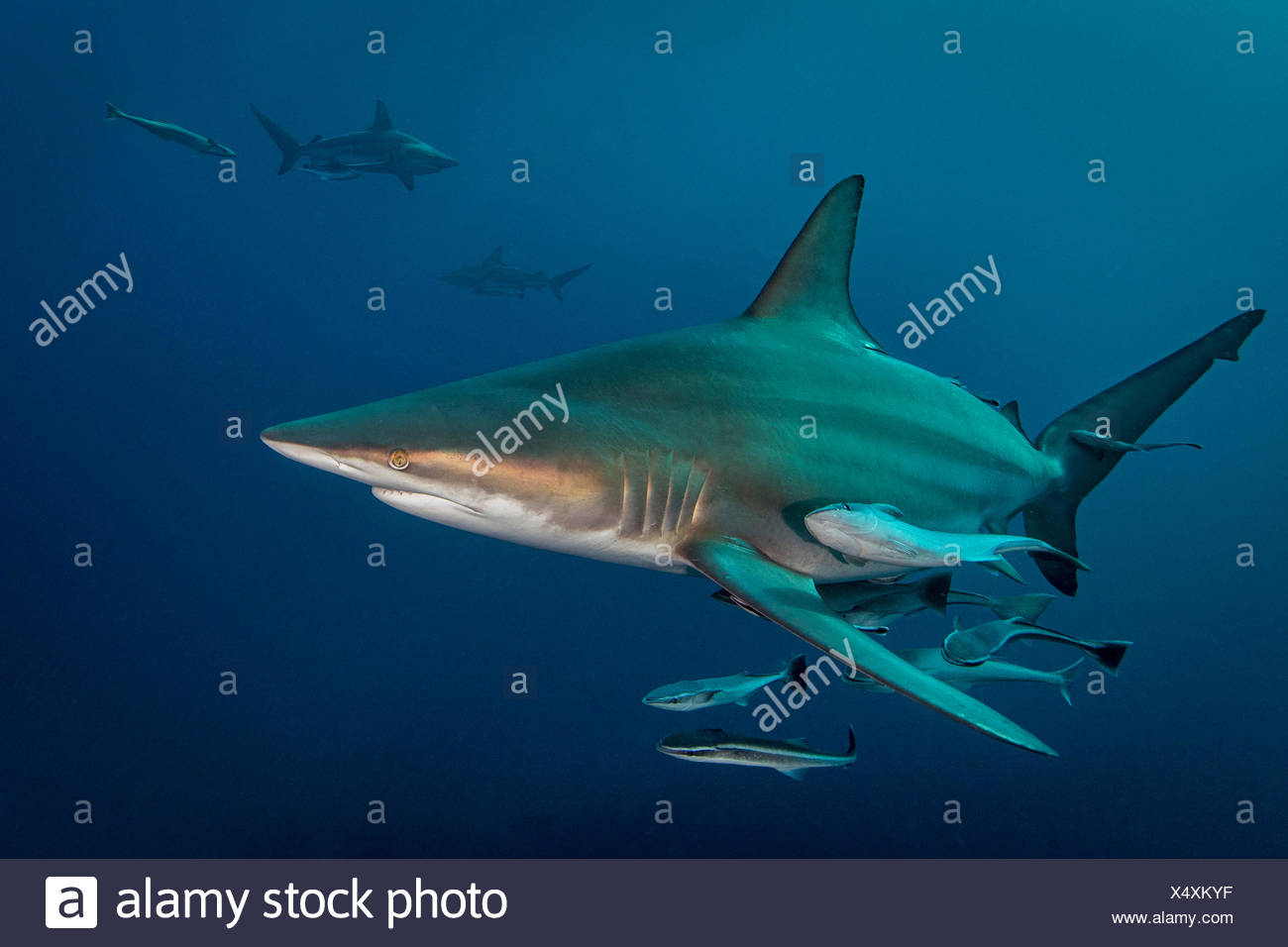 Oceanic Blacktip Shark (Carcharhinus Limbatus) circling prey, Aliwal Shoal, South Africa Stock Photo