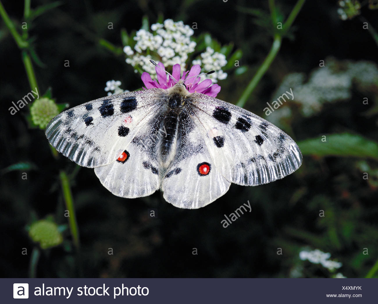 Apollo Apollofalter Engadine canton Graubunden Grisons Switzerland Europe Parnassius butterfly Switzerland Stock Photo