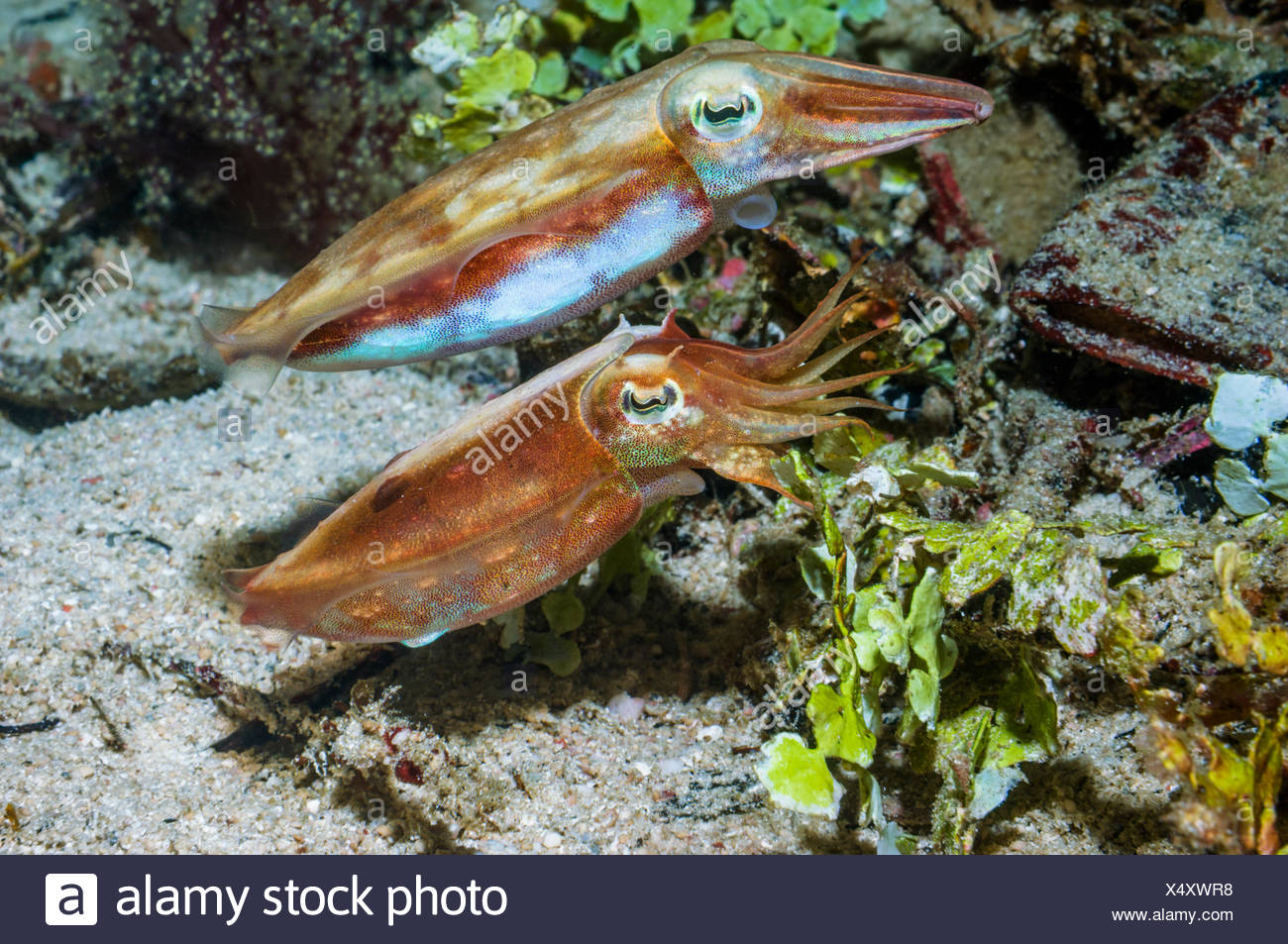 Papuan cuttlefish (Sepia papuensis) courting pair.  West Papua, Indonesia. - Stock Image