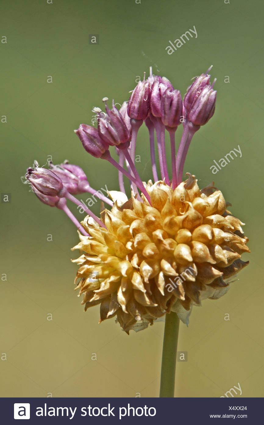 zijaanzicht close up van bloeiwijze met bolletjes en bloemen Stock Photo