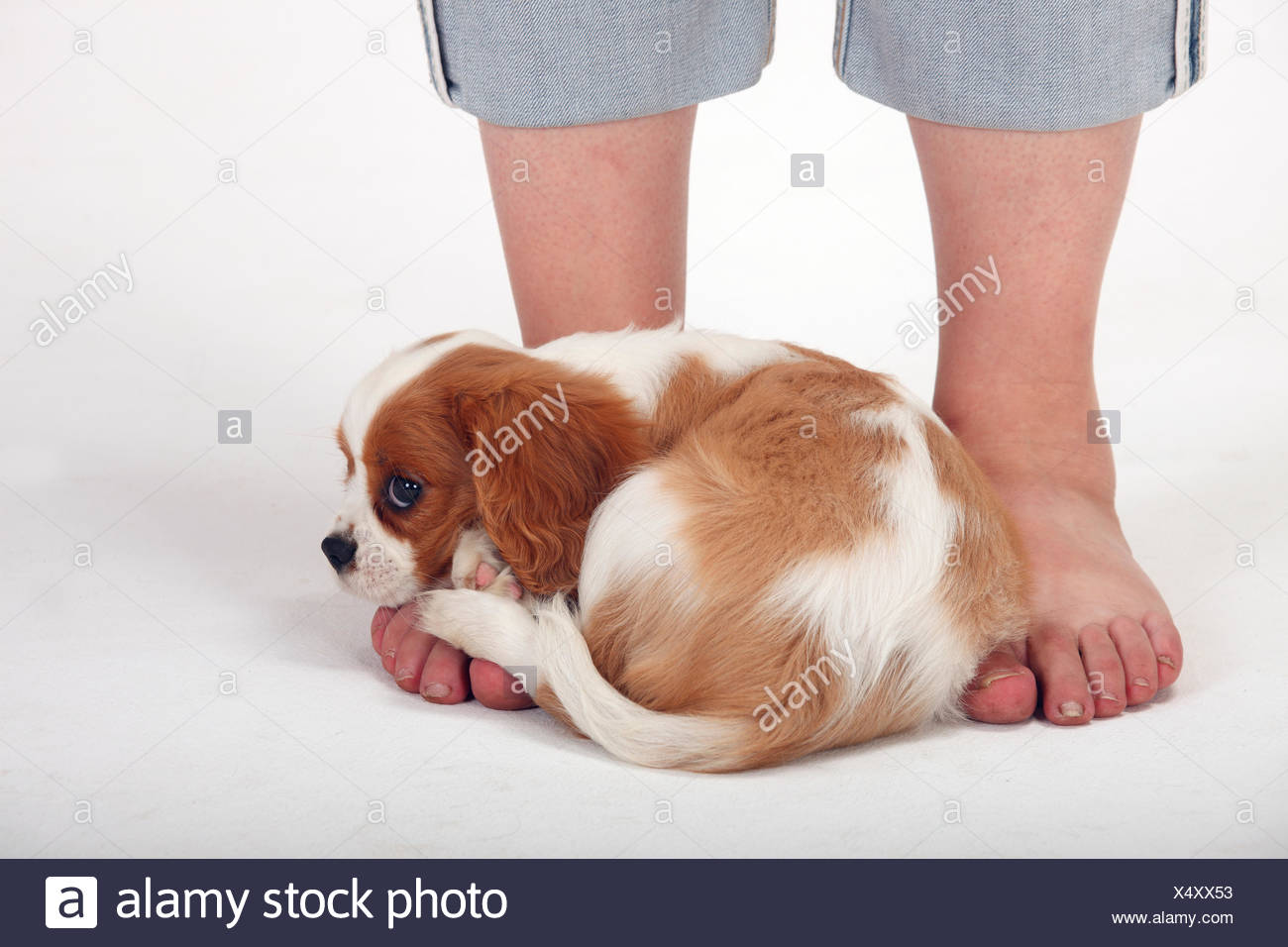 Spaniel And Foot Stock Photos Amp Spaniel And Foot Stock