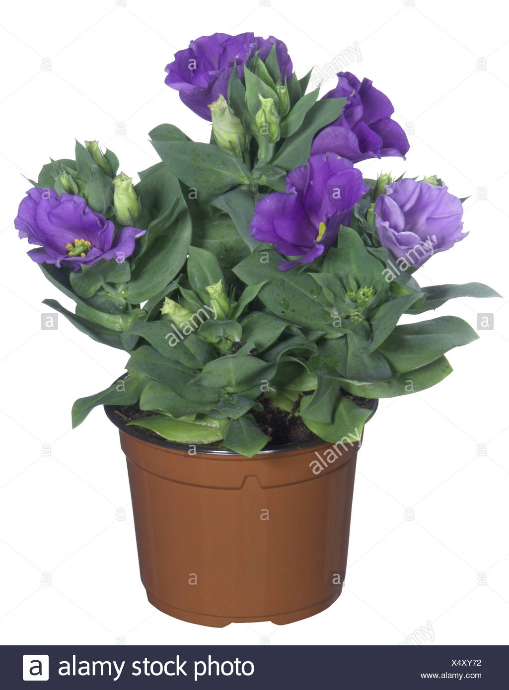 Lisianthus, Tulip Gentian, Texas Bluebell (Eustoma grandiflorum), potted plant - Stock Image