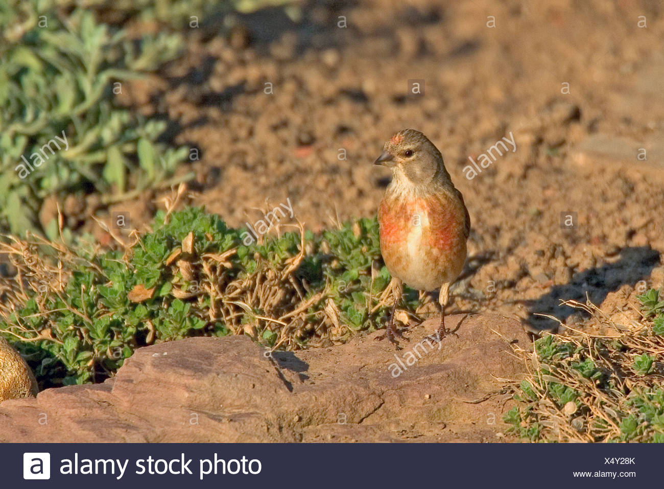 linnet Stock Photo