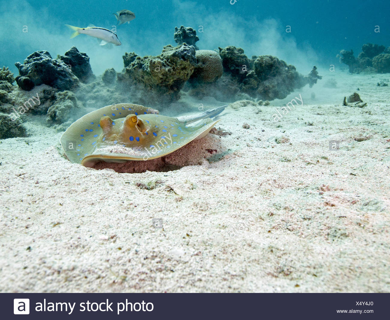 bluespotted ribbontail ray - Stock Image
