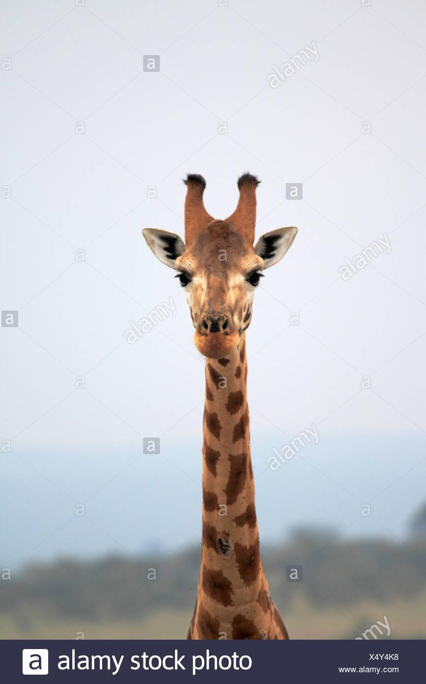 Rothschild's giraffe, Rothschild giraffe, Baringo Giraffe, Ugandan Giraffe (Giraffa camelopardalis rothschildi), portrait, Uganda, Murchison Falls National Park - Stock Image