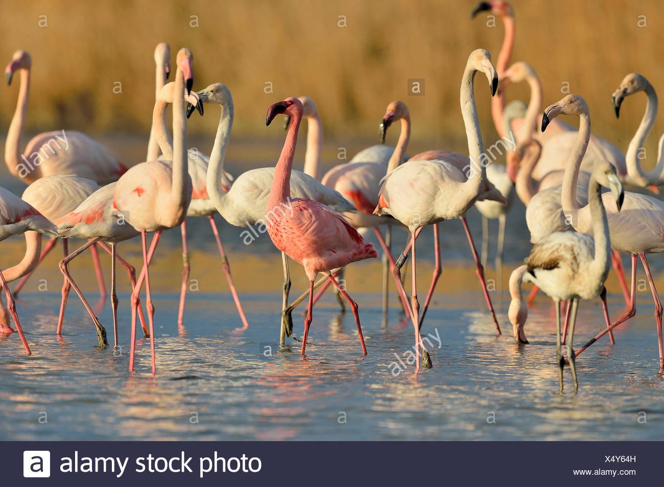 Dwarf Flamingo among Great flamingos - Camargue France Stock Photo