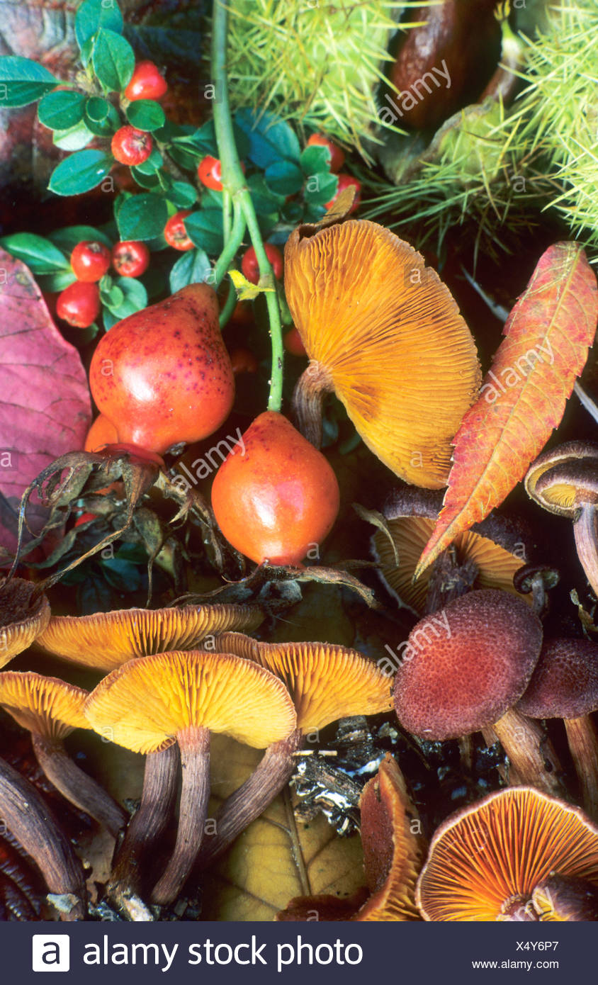 Autumn Still life berries fungus - Stock Image