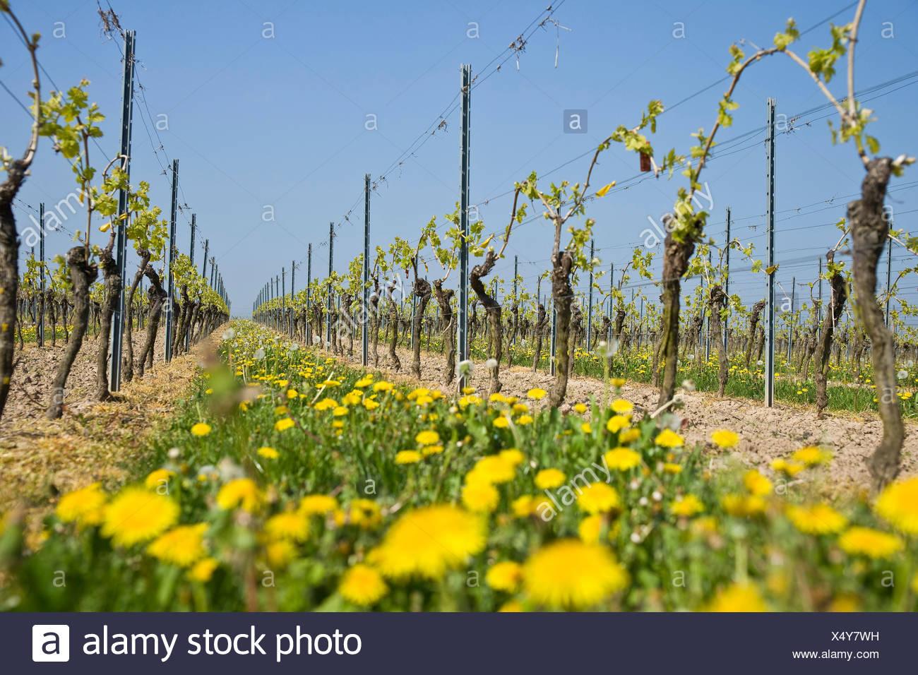 Grapevine Stock Photo