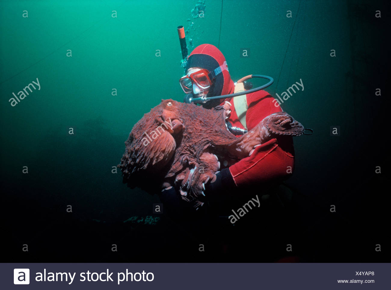Giant Pacific Octopus (Enteroctopus dofleini) weighing over 20 Kilos interacting with a diver. Victoria Island, British Columbia, Canada. Pacific ocean. - Stock Image