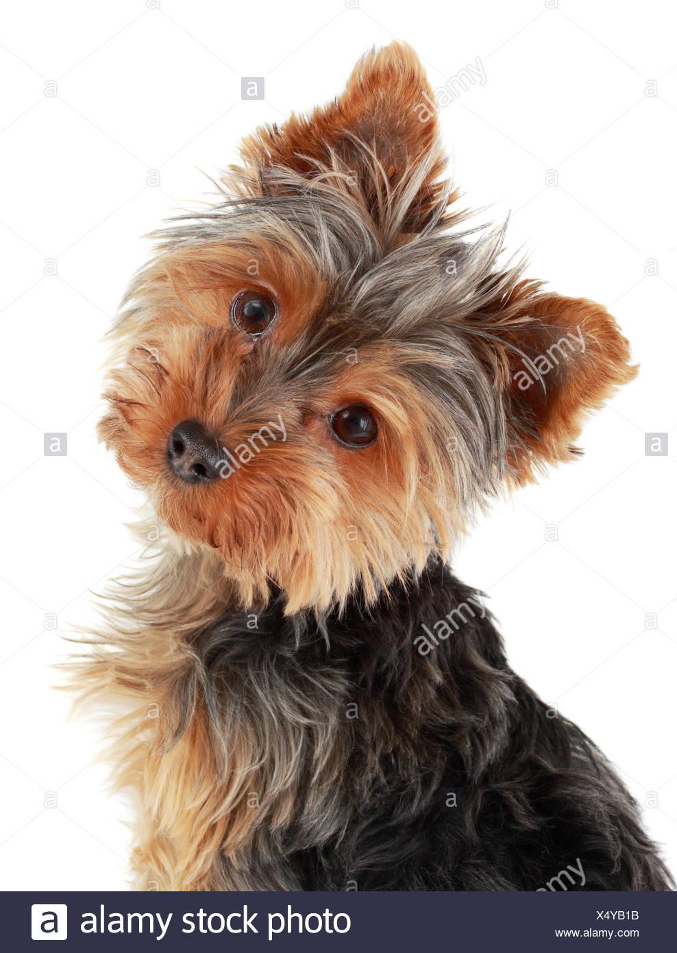 Cute Yorkie Puppy Stock Photo 278425879 Alamy