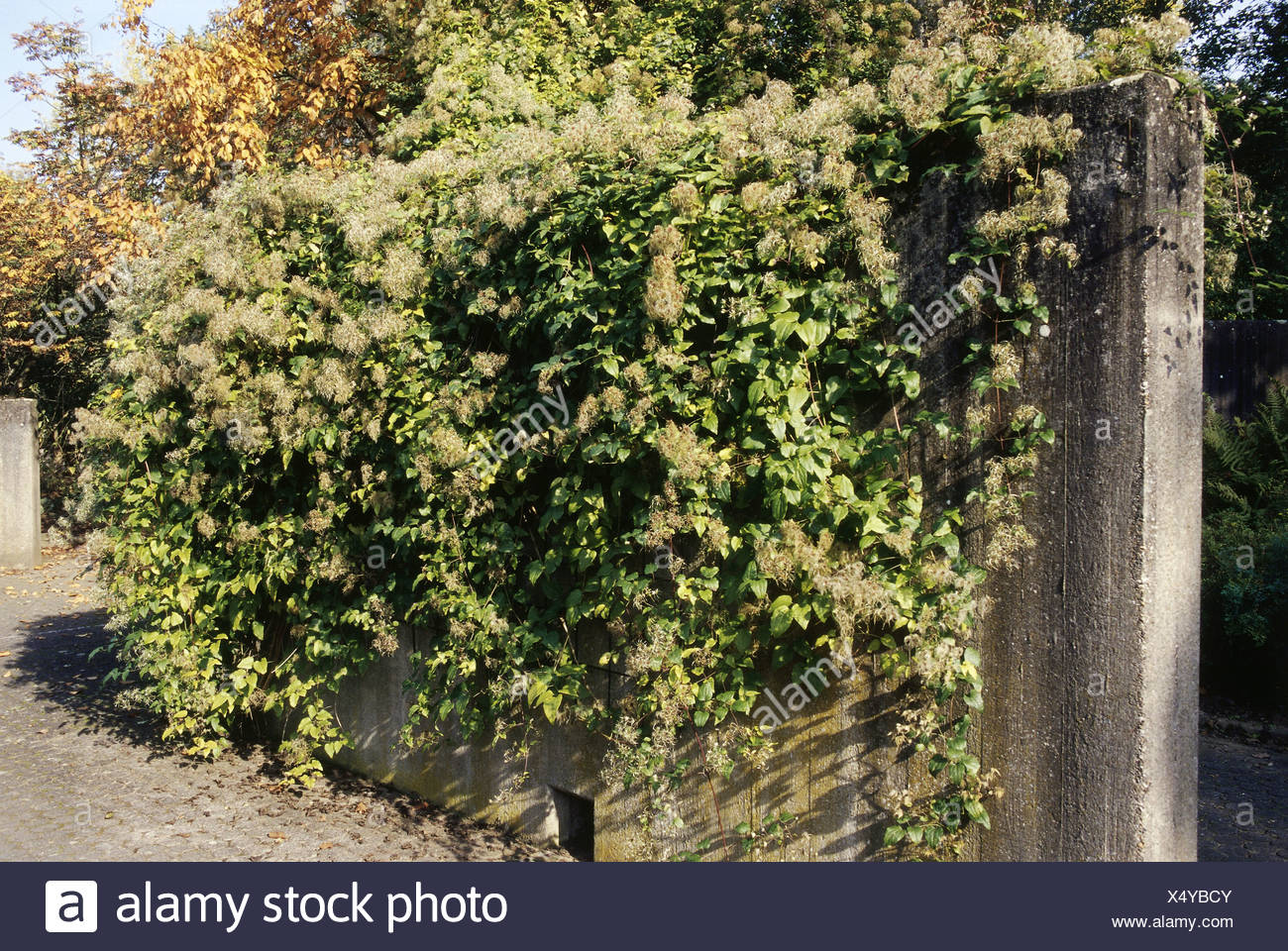 botany, Clematis, 'Clematis vitalba', infructescence, on wall, Additional-Rights-Clearance-Info-Not-Available - Stock Image