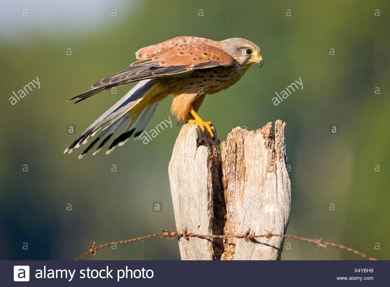 Kestrel (Falco tinnunculus), young male on a fence post, Vulkan Eifel, Rhineland-Palatinate, Germany, Europe - Stock Image