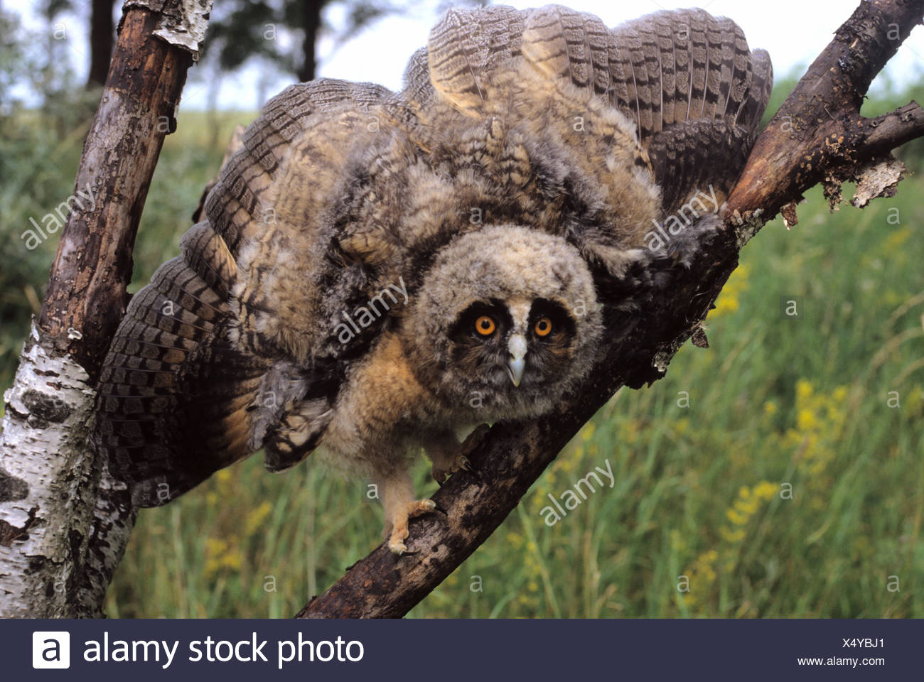Long-eared Owl (Asio otus) Genus Asio, fledgling, threatening gesture - Stock Image