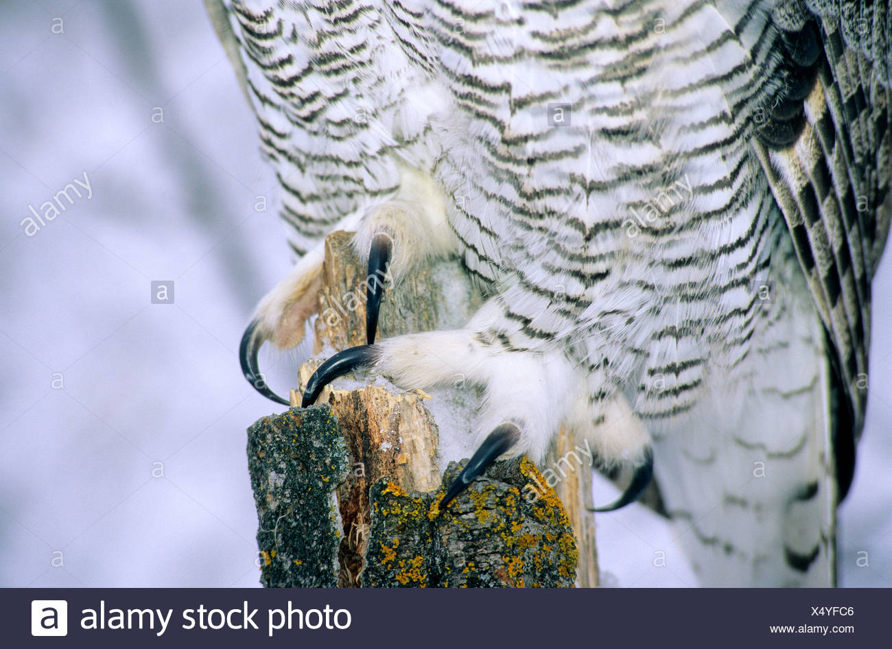 Talons on the feet of an adult great horned owl (Bubo virginianus), Alberta, Canada - Stock Image