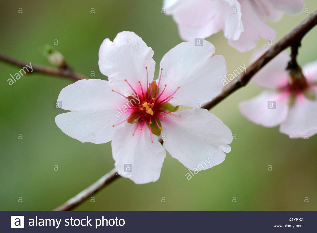 Almond tree / (Prunus dulcis) - Stock Image
