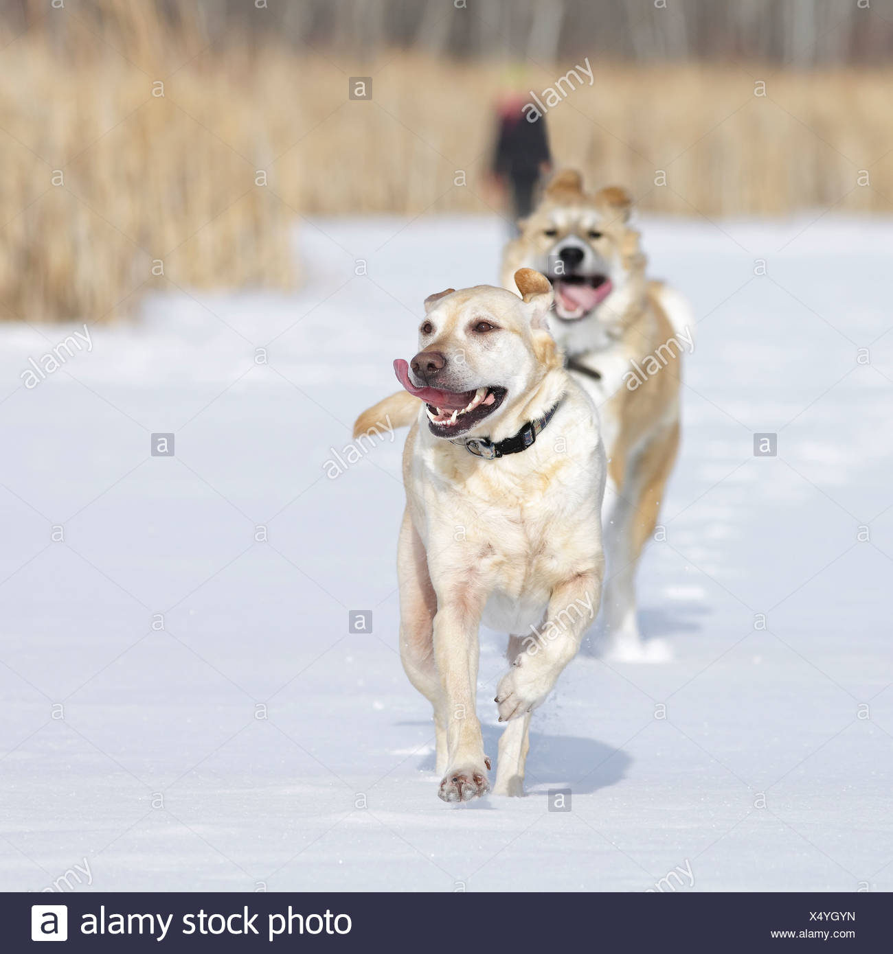 Two Dogs Running In Snow Of Assiniboine Forest; Winnipeg Manitoba Canada Stock Photo