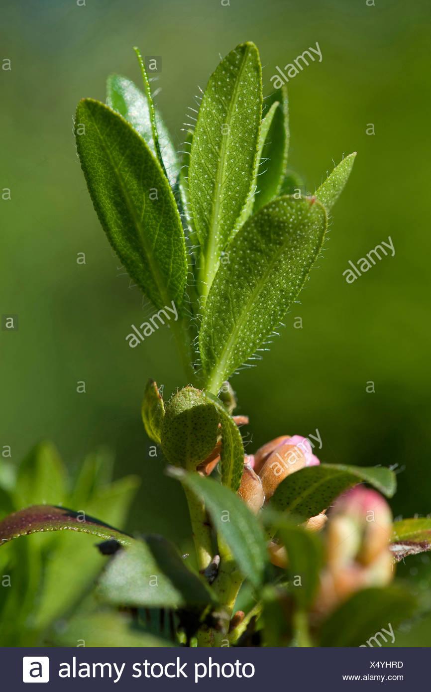 hairy alpine rose (Rhododendron hirsutum), leaves from below, Switzerland - Stock Image