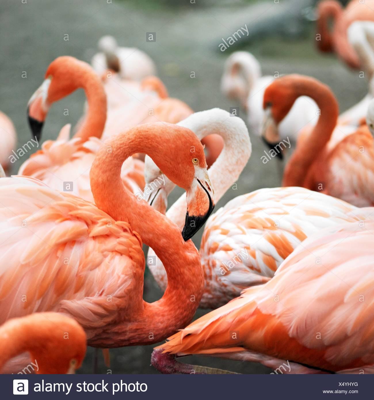 Group of wading pink flamingos - Stock Image