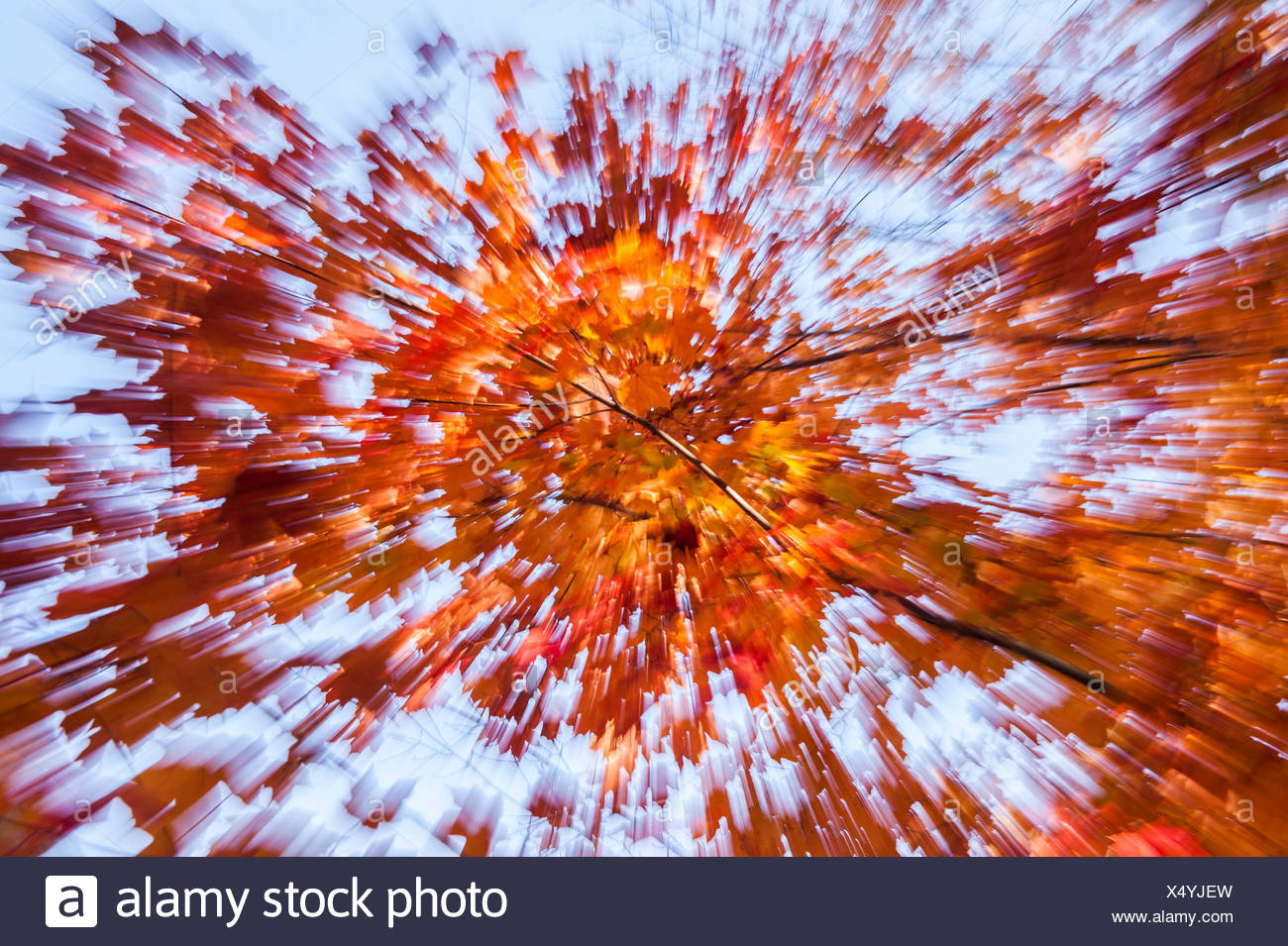 A zoomed shot of sugar maple leaves, Acer saccharum, in autumn hues against a blue sky. - Stock Image