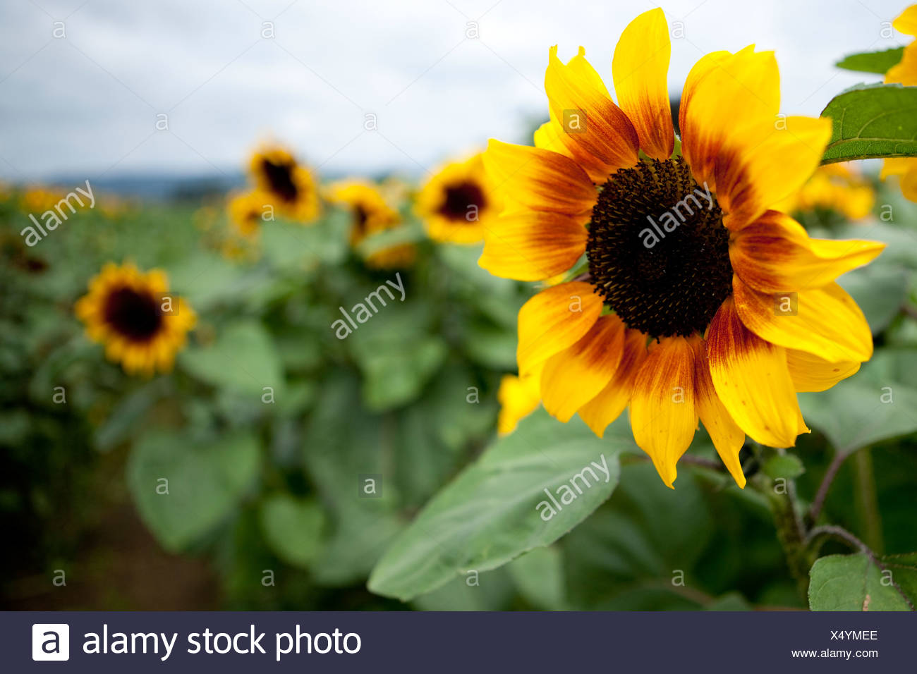 U-pic sunflowers at a local farm. - Stock Image