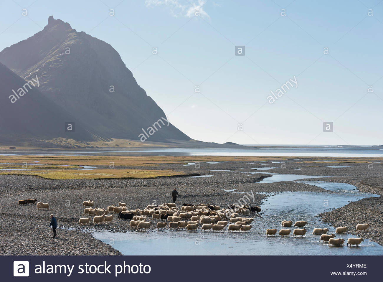 Sheep are rounded up on foot, sheep passing through a river, sheep transhumance, near Höfn, Iceland - Stock Image