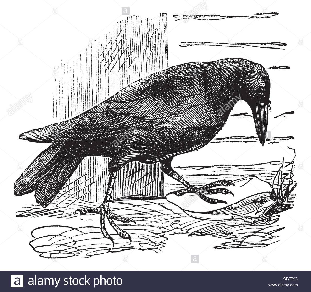 Raven or Corvus sp , vintage engraving  Old engraved illustration of a Raven - Stock Image